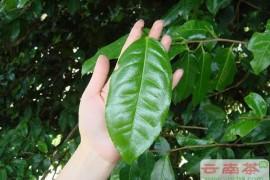 何为大叶种茶和小叶种茶,普洱茶大叶种和小叶种的区别