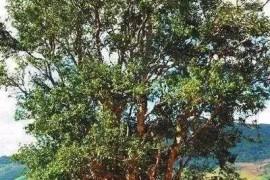 云南普洱茶六大古茶山300年沉浮