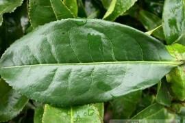 大叶种茶是什么茶?大叶种茶地理分布与分类