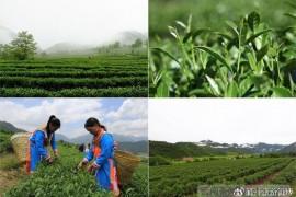 极边乌龙茶-云南腾冲高山乌龙茶的代表性名片