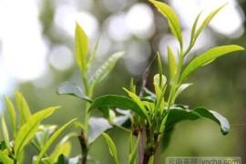 头春茶和二春茶有什么区别?头春茶什么时候采摘?