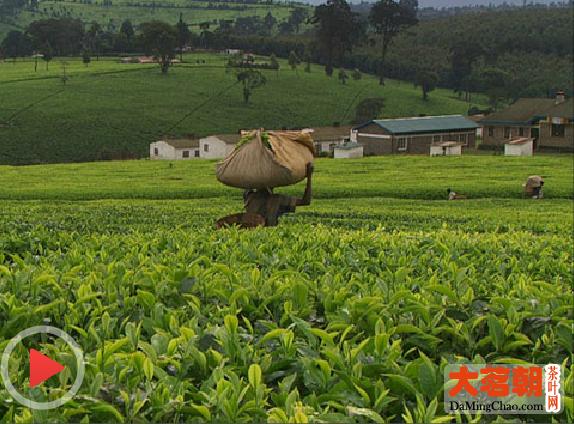 茶,一片树叶的故事1:土地和手掌的温度