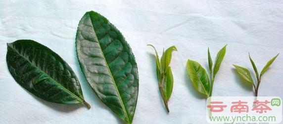 普洱茶老黄片2.png