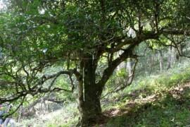 云南古茶树乱象引忧虑 茶界人士呼吁立法保护