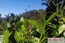 如何辨别普洱茶的春、夏、秋茶?