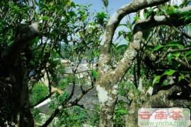 云南18大普洱茶山的特色和口感特点