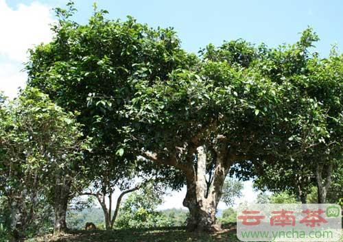 古茶树.jpg