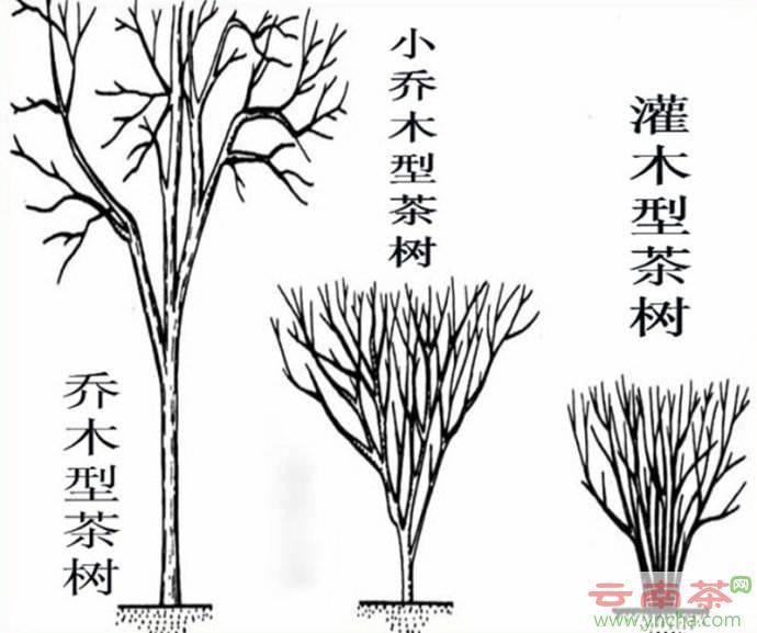 乔木型茶树.jpg