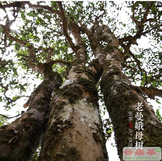 老曼娥普洱茶母树.jpg