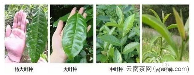 大叶种茶2.jpg